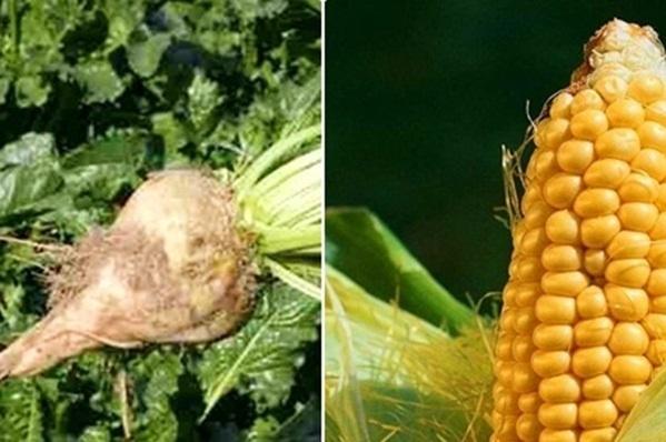 XIV Dzień Kukurydzy i Buraka Kliknięcie w obrazek spowoduje wyświetlenie jego powiększenia