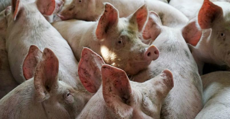 Afrykański pomór świń – utrudnienia  także w Płońsku  Kliknięcie w obrazek spowoduje wyświetlenie jego powiększenia